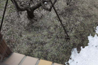 会場から見た中庭 札幌もやっと雪解け、ふきのとうが出てきた。